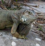 Wyspa, Ko Tao, Tajlandia, iguana Obrazy Royalty Free