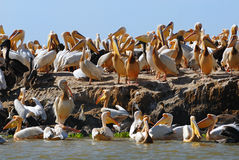 wyspa pelikan Obraz Stock