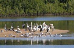 wyspa pelikan Zdjęcia Royalty Free
