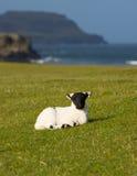 Wyspa Rozmyślam Szkocja uk baranek z czarną twarzą Fotografia Royalty Free
