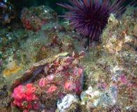 Wyspy Kelpfish para (Alloclinus holderi) Zdjęcia Royalty Free