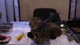 Wystawa piękny i drogi kot hoduje, kiciunie bawić się z zabawką zbiory