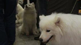 Wystawa purebred psy, piękny puszysty Amerykański Eskimoski siedzący pobliski właściciel zdjęcie wideo