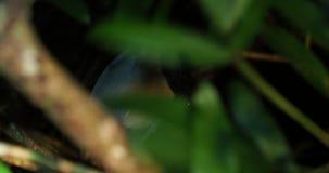 Wystawiająca rachunek czapla - Cochlearius cochlearius znać jako boatbill, nocturnal czapla, życia w namorzynowych bagnach zbiory wideo