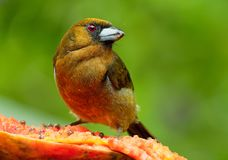 Wystawiający rachunek Barbet wyróżniający, stosunkowo wystawiający rachunek ptasi miejscowy wilgotny górski las, - Semnornis fran obraz stock