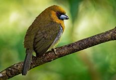 Wystawiający rachunek Barbet wyróżniający, stosunkowo wystawiający rachunek ptasi miejscowy wilgotny górski las, - Semnornis fran fotografia royalty free