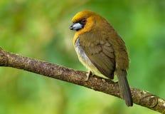 Wystawiający rachunek Barbet wyróżniający, stosunkowo wystawiający rachunek ptasi miejscowy wilgotny górski las, - Semnornis fran zdjęcie stock