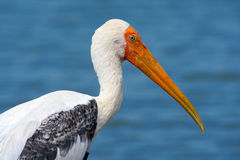 Wystawiający rachunek bocian, Mycteria ibis, siedzi na gałąź, Tanzania Rzeka z ptakiem w Afryka Portret bocian w Afryka ptak Obrazy Royalty Free