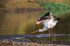 wystawiający rachunek bocian w Kruger parku narodowym, Południowa Afryka Obrazy Stock