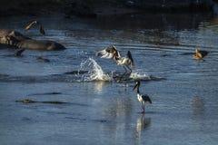 Wystawiający rachunek bocian w Kruger parku narodowym, Południowa Afryka Obrazy Royalty Free