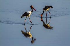 Wystawiający rachunek bocian w Kruger parku narodowym, Południowa Afryka Zdjęcia Stock