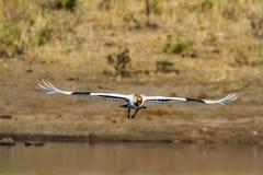 Wystawiający rachunek bocian w Kruger parku narodowym, Południowa Afryka Obraz Stock