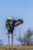 Wystawiający rachunek bocian w Kruger parku narodowym, Południowa Afryka Zdjęcia Royalty Free