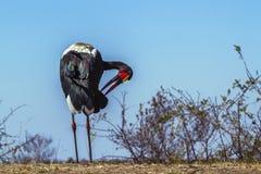 Wystawiający rachunek bocian w Kruger parku narodowym, Południowa Afryka Obraz Royalty Free