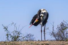 Wystawiający rachunek bocian w Kruger parku narodowym, Południowa Afryka Zdjęcie Stock