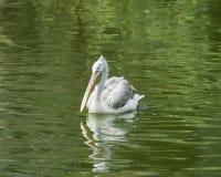 Wystawiający rachunek lub siwieje pelikana, Pelecanus philippensis, pływa w stawie z zaondulowanym odbiciem, zakończenie portret Zdjęcie Stock