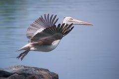 wystawiający rachunek pelikana Pelecanus philippensis fotografia stock