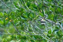 Wystawiający rachunek zimorodka Pelargopsis melanorhyncha umieszcza na gałąź w namorzynowym krzaku, rodzinny Alcedinidae, endemic zdjęcie royalty free