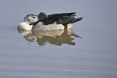 Wystawiająca rachunek kaczka (Sarkidiornis melanotos) Obrazy Royalty Free