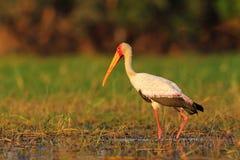 Wystawiający rachunek bocian, Mycteria ibis, spacer w wodzie, Tanzania Rzeka z ptakiem w Afryka Strok w natura marszu siedlisku B Obrazy Royalty Free