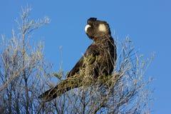 Wystawiający rachunek Czarny kakadu Obraz Royalty Free