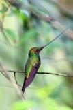 wystawiający rachunek Hummingbird Zdjęcie Stock