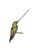 wystawiający rachunek Hummingbird Obraz Stock