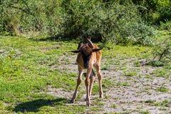 wystawiający rachunek Oxpecker jest najlepszy cleaner Afryka serengeti Tanzania Zdjęcie Stock
