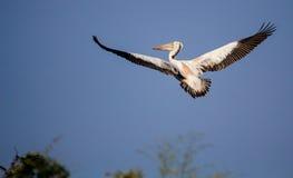 Wystawiający rachunek pelikan na locie Obraz Stock