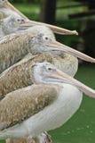 Wystawiający rachunek Pelikany Obraz Royalty Free