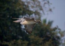 wystawiający rachunek Popielaty pelikana Pelecanus philippensis Zdjęcia Stock