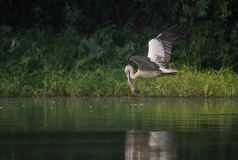 wystawiający rachunek Popielaty pelikana Pelecanus philippensis Obrazy Stock