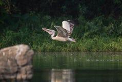 wystawiający rachunek Popielaty pelikana Pelecanus philippensis Obrazy Royalty Free