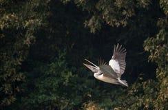 wystawiający rachunek Popielaty pelikana Pelecanus philippensis Obraz Stock