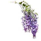 Wysteria royalty free stock images