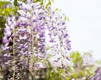 Wysteria-Blumenhängen Lizenzfreie Stockfotografie