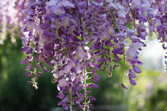 Wysteria Flowers Stock Photography