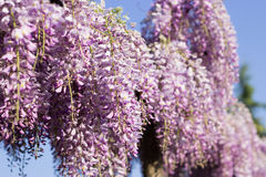 Wysteria Flowers Stock Images