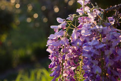 Wysteria Flowers Royalty Free Stock Photography