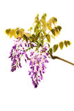 Wysteria Flowers Royalty Free Stock Images