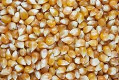 wystrzału kukurydzany ziarno Obraz Stock