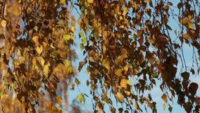Wysuszeni brzoza liście na wiatrze zbiory
