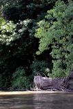 Wysuszeni drzewa na Danube Obrazy Stock