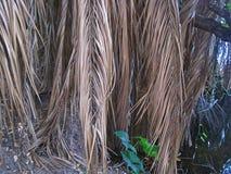 WYSUSZENI FRONDS drzewko palmowe fotografia stock