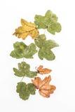 Wysuszeni jesień liście na bielu Zdjęcia Royalty Free