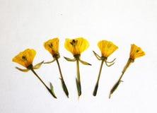 Wysuszeni kolorów żółtych kwiaty Zdjęcia Royalty Free