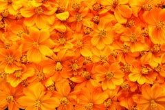 Wysuszeni kosmosów kwiaty Zdjęcia Royalty Free