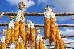 Wysuszeni kukurydzani cobs wiesza na drewnianym poręczu nad zamazanym niebieskiego nieba tłem Fotografia Stock