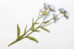 wysuszeni kwiaty Zdjęcia Stock
