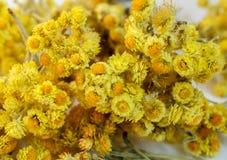 Wysuszeni kwiaty helichrysum Obrazy Stock